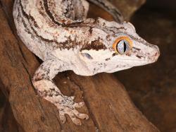 Gargoyle Gecko copy