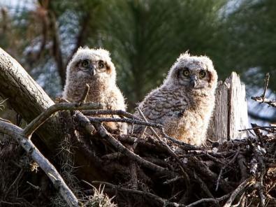 Owl Babies6