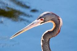Hunting Tricolor Heron