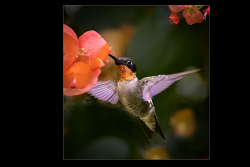 Hummingbird in the Chinese Hat Blooms