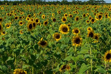 Sunflowers Season